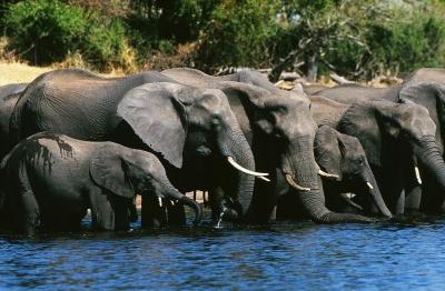Elefanten trinken im Sambesi