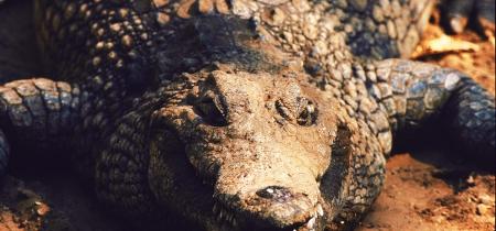 Krokodil am Sambezi